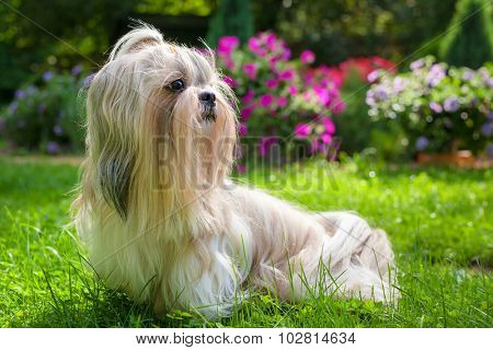 Shih tzu dog in garden with flowers on green grass.