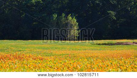 Soy bean fields in autumn time