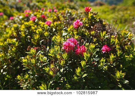 Pink rhododendron bush close up in Alps, Italy