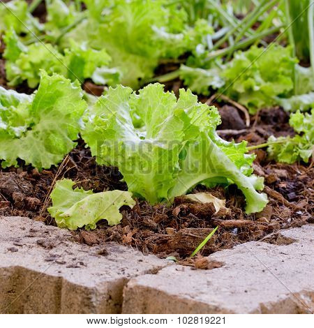 Lettuce Planting N The Pesticide Residue Free Garden