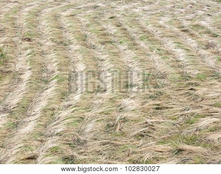 Reaped Hay On Field