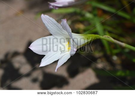 Crinum lily powellii Album in flower
