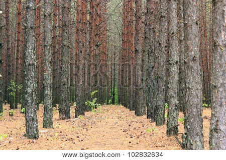 forest with pines