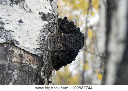 Growth On The Birch - Medicinal Mushroom Chaga.
