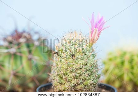 Closed Up Cactus With Pink Flower