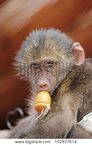 Cute Baby Monkey With A Dummy