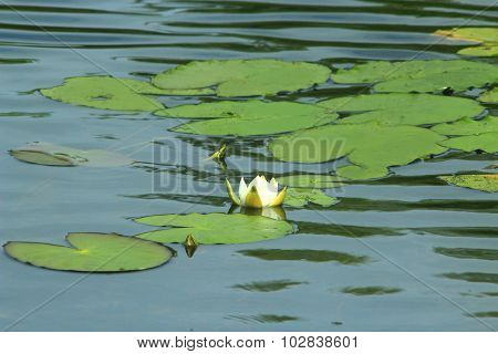 White Flower Of Nymphaea Alba