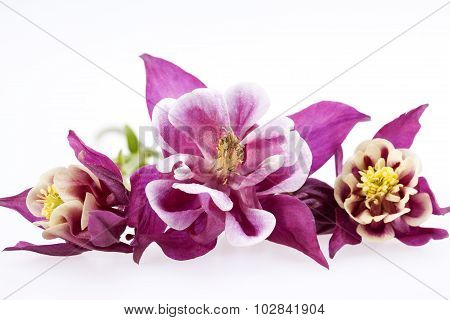 Purple Flowers Of Aquilegia Vulgaris On White Background