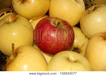 Red Apple Surrounded by Yellow Apples