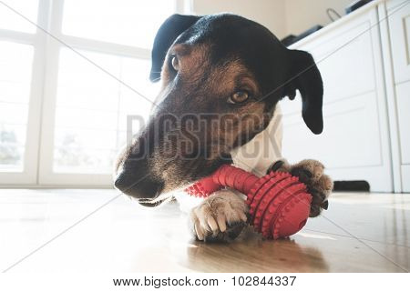 Playful and cute terrier dog chewing a toy at home