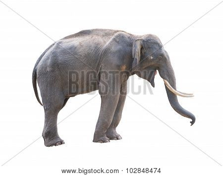 Male Asia Elephent Isolated
