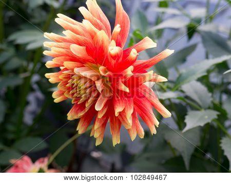 The nature orange Flower dahlia.