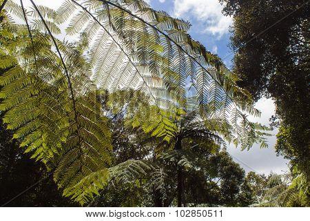 Giant  Green  Fern Leaves