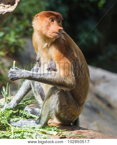 Proboscis Monkey In A Zoo