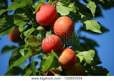 Late summer red plums on tree