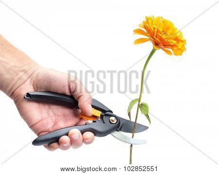 Closeup of man's hand cutting orange zinnia flower with black shears on white background