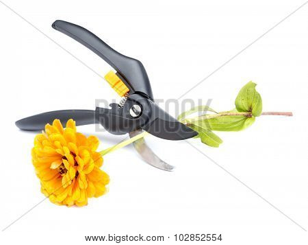Orange zinnia flower being cut with black shears on white background