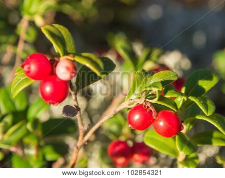 Lingonberry Closeup