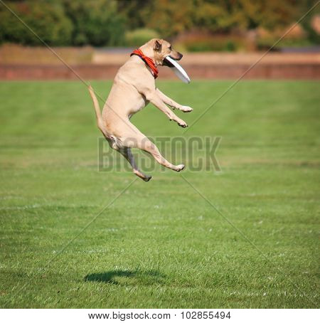 a cute dog in the grass at a park during summer catching a frisbee disc