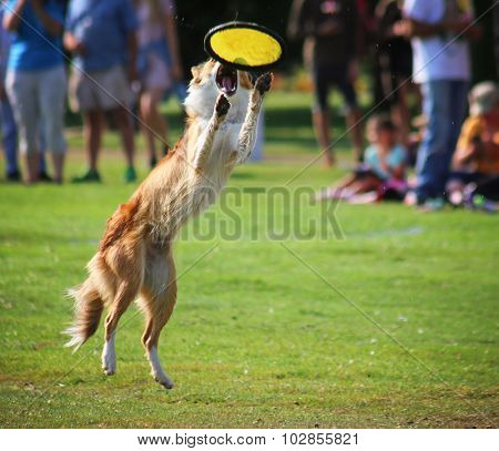 a german shepherd dog out in nature looking at a ball to be thrown in a backyard or park