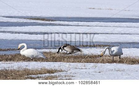Whooper swan and Canada geese rest by a pond, bird migration.