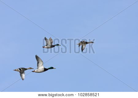 Mallards, wild duck in bird migration.