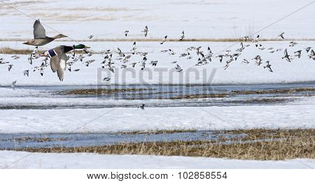 Mallards, wild duck and snow bunting in bird migration.