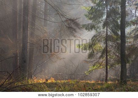 Autumnal Misty Morning In The Forest