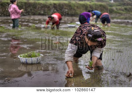 Agricultural Work, Asian Women Rice Seedling Transplanting In Rural China.