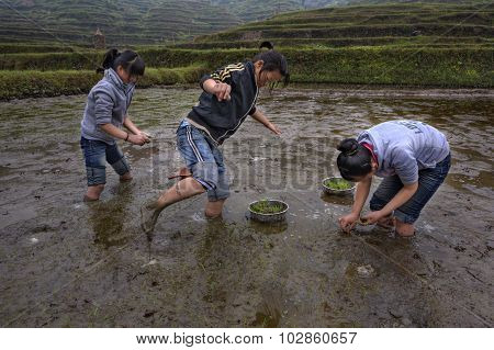 Three Asian Teen Girl Busy Planting Rice In Paddy Field.