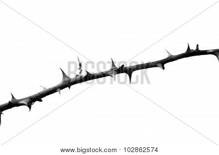 prickle branch isolated