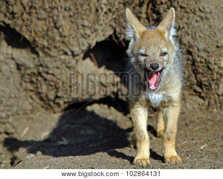 Baby Jackal yawning