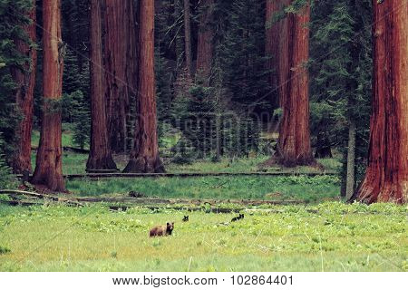 Bear in wild with cubs in Sequoia National Park