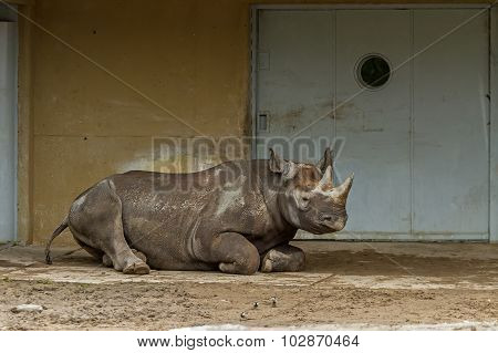 Large Rhino  Lives In The Zoo Garden
