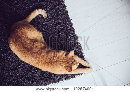 cat lying on a carpet