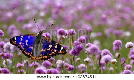 Butterfly Perched On Purple Flower Panoramic View