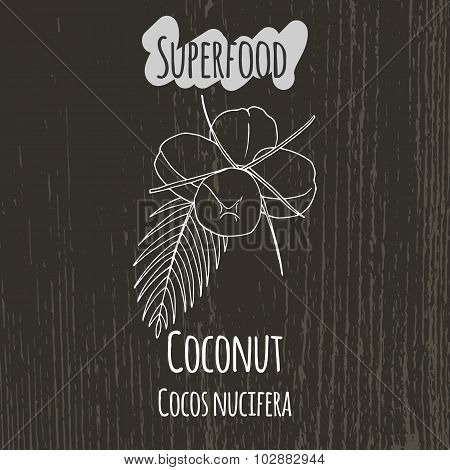 Hand drawing illustration of coconut. Cocos nucifera.