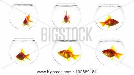 Collage Golden Fish In Aquarium, Isolated On White