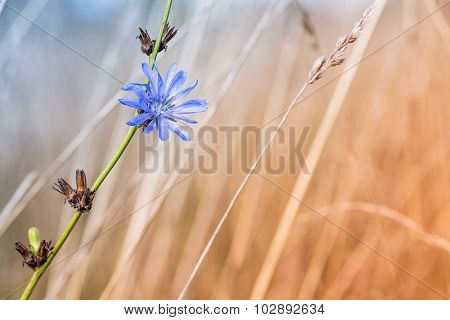 Blue Chicory Flower On A Dead And Dried Thistle