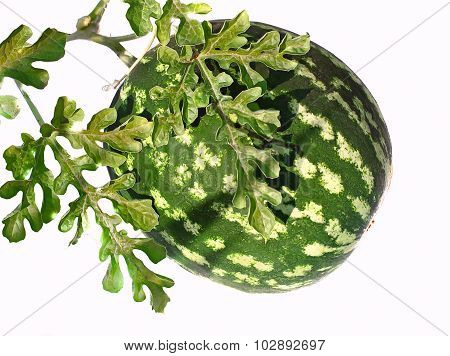 Watermelon Seele Grow On The Ground, Garden And Vegetable Crops