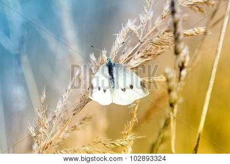 White  Butterfly On A Dry Plant