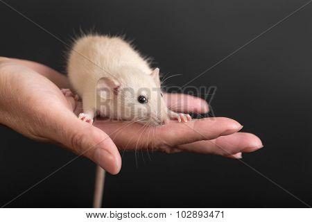 Portrait Of Baby Rat
