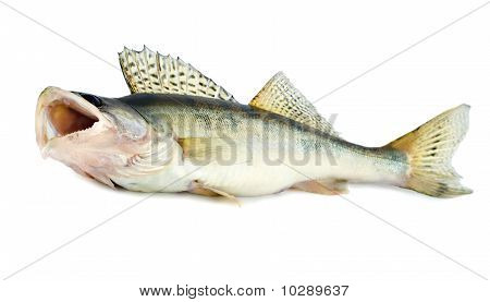 Fresh Pikeperch