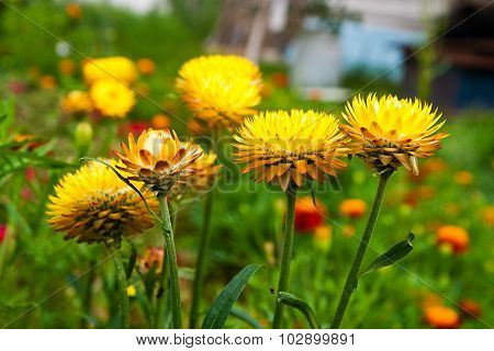 Straw Flower In Outdoor Garden