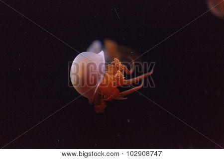 Flame Jelly, Rhopilema esculentum