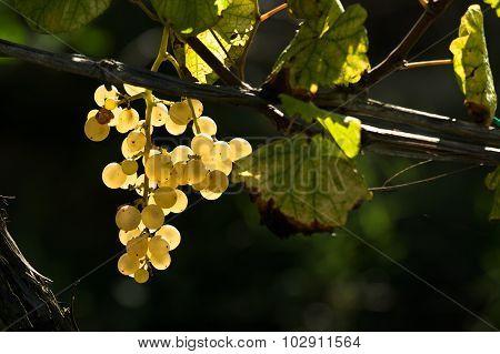 Grapes,autumn,vine