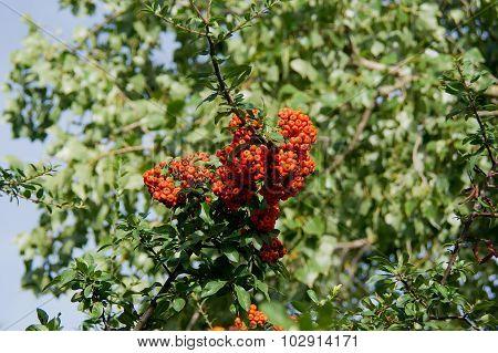 Fire Thorn (Pyracantha coccinea)