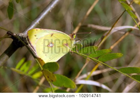 Sulfur butterfly (colias philodice)