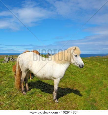 Portrait of white horse with brown ears.  Farmer sleek horse.  Iceland in July