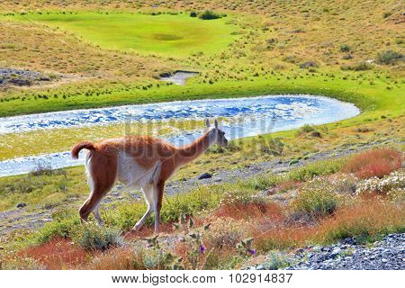 Overgrown grass lake and charming vicuna on the shore. National Park Torres del Paine in Chile